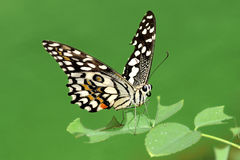 Lime Butterfly Stock Photography