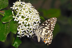 Lime Butterfly Royalty Free Stock Images
