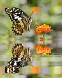 Lime butterfly above water with reflection. Lime butterfly (Papilio demoleus) feeding on flower (Lantana camara) above water with big reflection, digital effect Stock Image