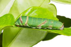 Lime Butterfly Caterpillar Stock Photo