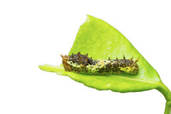 Lime butterfly caterpillar Royalty Free Stock Photography