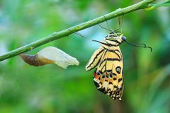 Lime butterfly change form chrysalis. (Papilio demoleus malayanus Wallace royalty free stock image