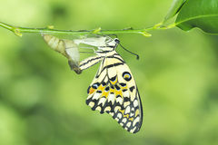 Lime butterfly Royalty Free Stock Photo