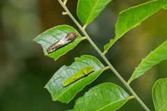 Lime butterfly and Common Mormon caterpillars royalty free stock images