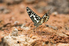 Lime Butterfly drinking on ground. Lime Butterfly drinking water on ground Stock Photos