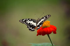 The lime butterfly Royalty Free Stock Photography