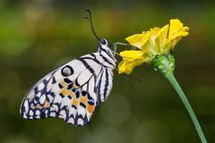 Lime butterfly on flower stock photo