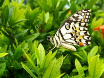 Lime butterfly. On green leaf Royalty Free Stock Photo