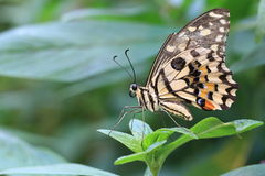 Lime Butterfly and green leaf Royalty Free Stock Photos