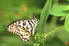 Lime Butterfly and green leaf Royalty Free Stock Images