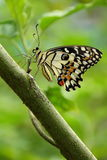 Lime butterfly, insects, butterfly Royalty Free Stock Image