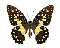 Lime Butterfly lower wing profile isolate on white background. Royalty Free Stock Photography
