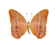 Lime Butterfly lower wing profile isolate on white background. Stock Photo