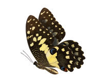 Lime Butterfly lower wing profile isolate on white background. Stock Photography
