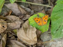 Lime butterfly on a mexican sunflower Stock Photos