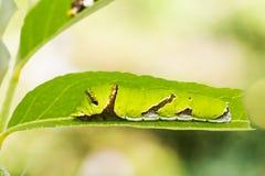 Lime butterfly Papilio demoleus caterpillar Royalty Free Stock Photo