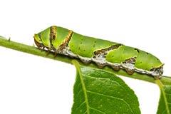 Lime butterfly Papilio demoleus caterpillar Stock Photos