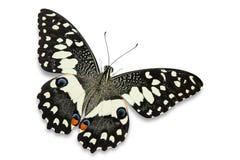Lime butterfly Papilio demoleus stock photography