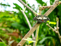 Lime Butterfly Papilio demoleus Royalty Free Stock Photos