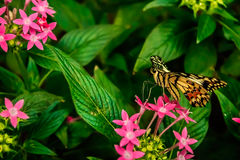 Lime Butterfly Papilio demoleus. On Green Leaves Royalty Free Stock Image