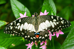 Lime Butterfly Papilio demoleus. On Green Leaves Royalty Free Stock Photos