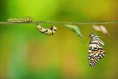 Lime butterfly Papilio demoleus life cycle. Lime butterfly or Lemon butterfly Papilio demoleus life cycle, from caterpillar to pupa and its adult form, on nature stock photos