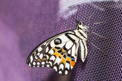 Lime butterfly (Papilio demoleus malayanus) Stock Images