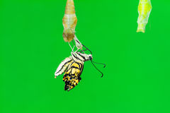 Lime butterfly (Papilio demoleus malayanus) Stock Photography