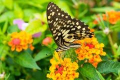 Lime butterfly (Papilio Demoleus Malayanus) Stock Image
