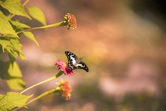 Lime Butterfly Papilio demoleus malayanus Stock Image
