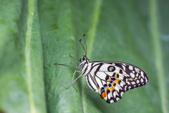 Lime Butterfly (Papilio demoleus malayanus) on green leaf Stock Photo
