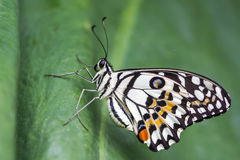 Lime Butterfly (Papilio demoleus malayanus) on green leaf Royalty Free Stock Photo