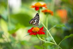 Lime Butterfly Papilio demoleus malayanus Royalty Free Stock Photos