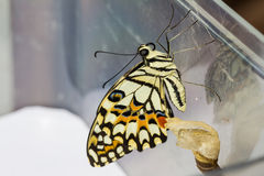 Lime butterfly (Papilio demoleus malayanus) Royalty Free Stock Image