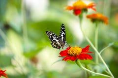 Lime Butterfly Papilio demoleus malayanus Royalty Free Stock Image
