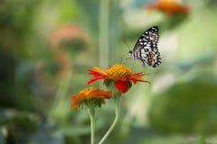 Lime Butterfly Papilio demoleus malayanus Royalty Free Stock Photo
