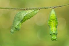 Lime butterfly Papilio demoleus pupa stock images