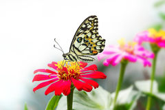 Lime butterfly on red zinnia flower Royalty Free Stock Image