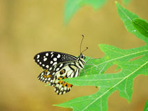 Lime Butterfly Royalty Free Stock Photos