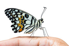 Lime Butterfly, Side View Royalty Free Stock Photo