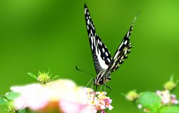 The lime butterfly Royalty Free Stock Photo
