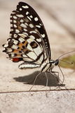 The Lime Butterfly Royalty Free Stock Images