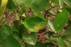 Lime canker disease causes by bacteria,leaf canker Royalty Free Stock Images