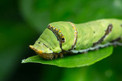 Lime Caterpillar of borneo Royalty Free Stock Photo