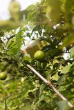 Lime citrus fruits growing on a tree in summer garden. Lime citrus fruits growing on a tree in summer asian garden stock photography