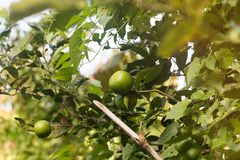 Lime citrus fruits growing on a tree in summer garden. Lime citrus fruits growing on a tree in summer asian garden royalty free stock photography