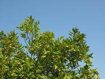 Lime (Citrus x latifolia) tree. Lime (Citrus x latifolia) aka Persian lime or Shiraz or Tahiti or Bearss tree royalty free stock images