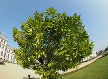 Lime (Citrus x latifolia) tree. Lime (Citrus x latifolia) aka Persian lime or Shiraz or Tahiti or Bearss tree royalty free stock image