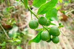Lime Citrus tree with fruits very popular in Southeast Asia. Lime Citrus tree with fruits very popular in Southeast Asia and Thailand royalty free stock image