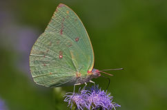 Lime colored butterfly Royalty Free Stock Photos
